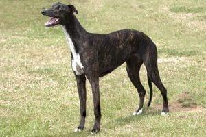 22435023 - stately very dark brindle greyhound looking at someone or something