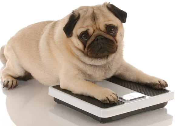 A healthy dog weight