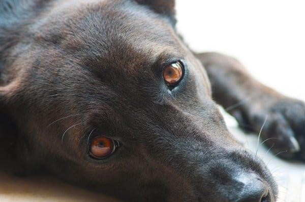 Healthy eyes in dogs
