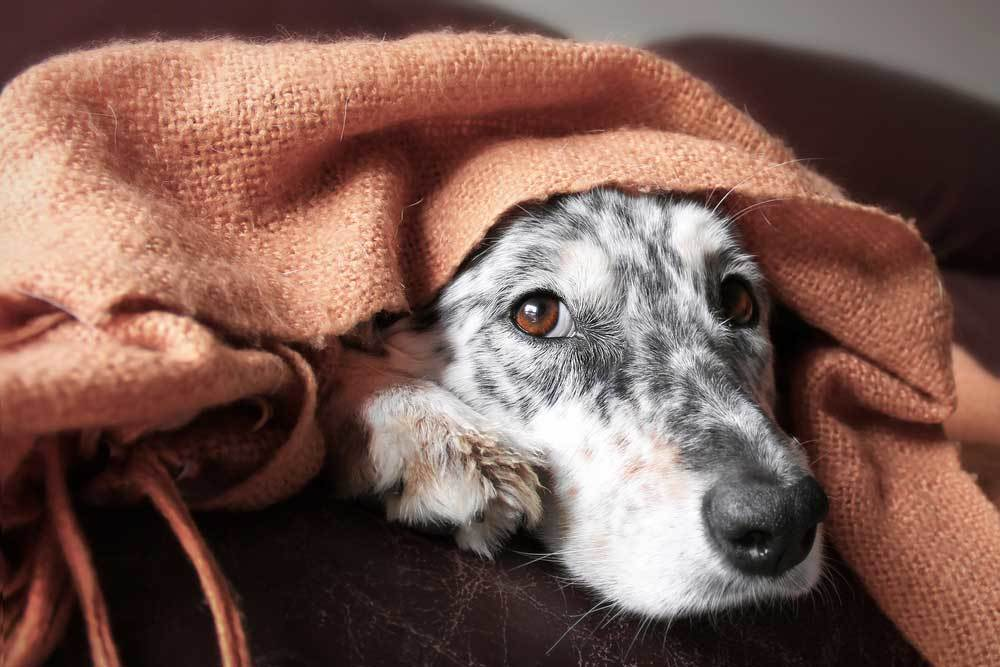 Cute dog with face poking out from under blanket