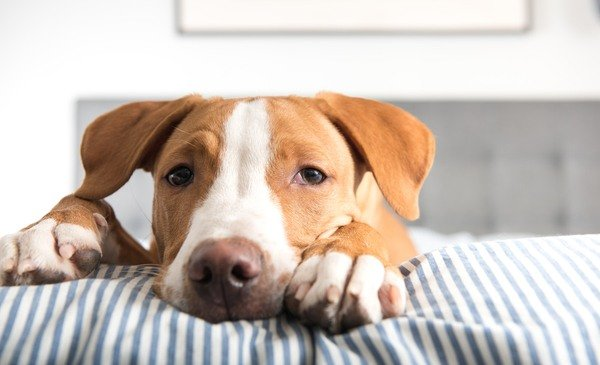What is pancreatic insufficiency in dogs?