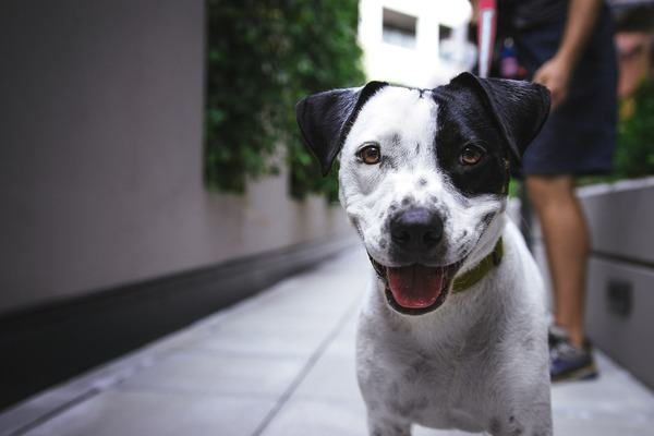 adorable black and white dog standing on the street staring at the camera