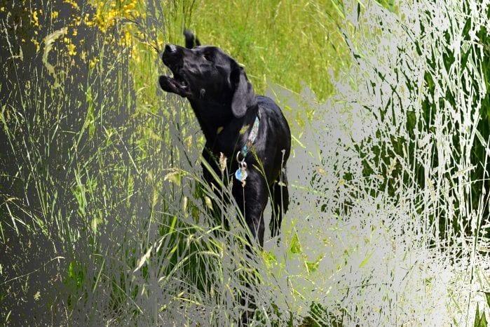 dog barking in tall grass