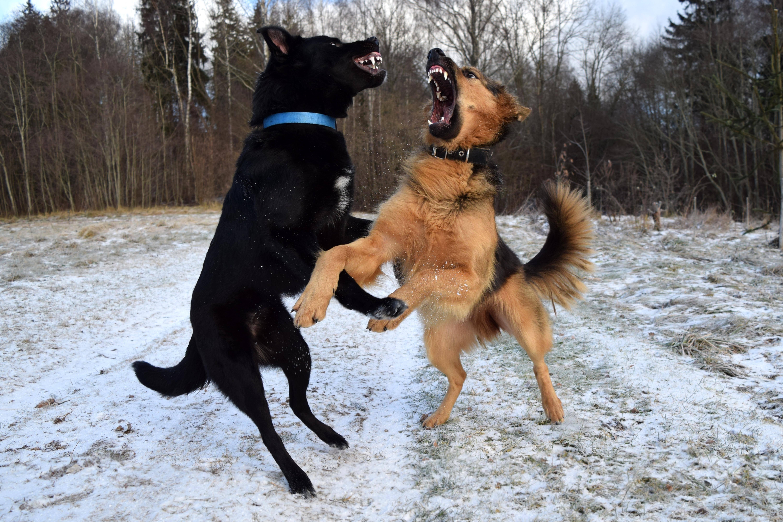 Black dog and German Shepherd fighting on snowy road