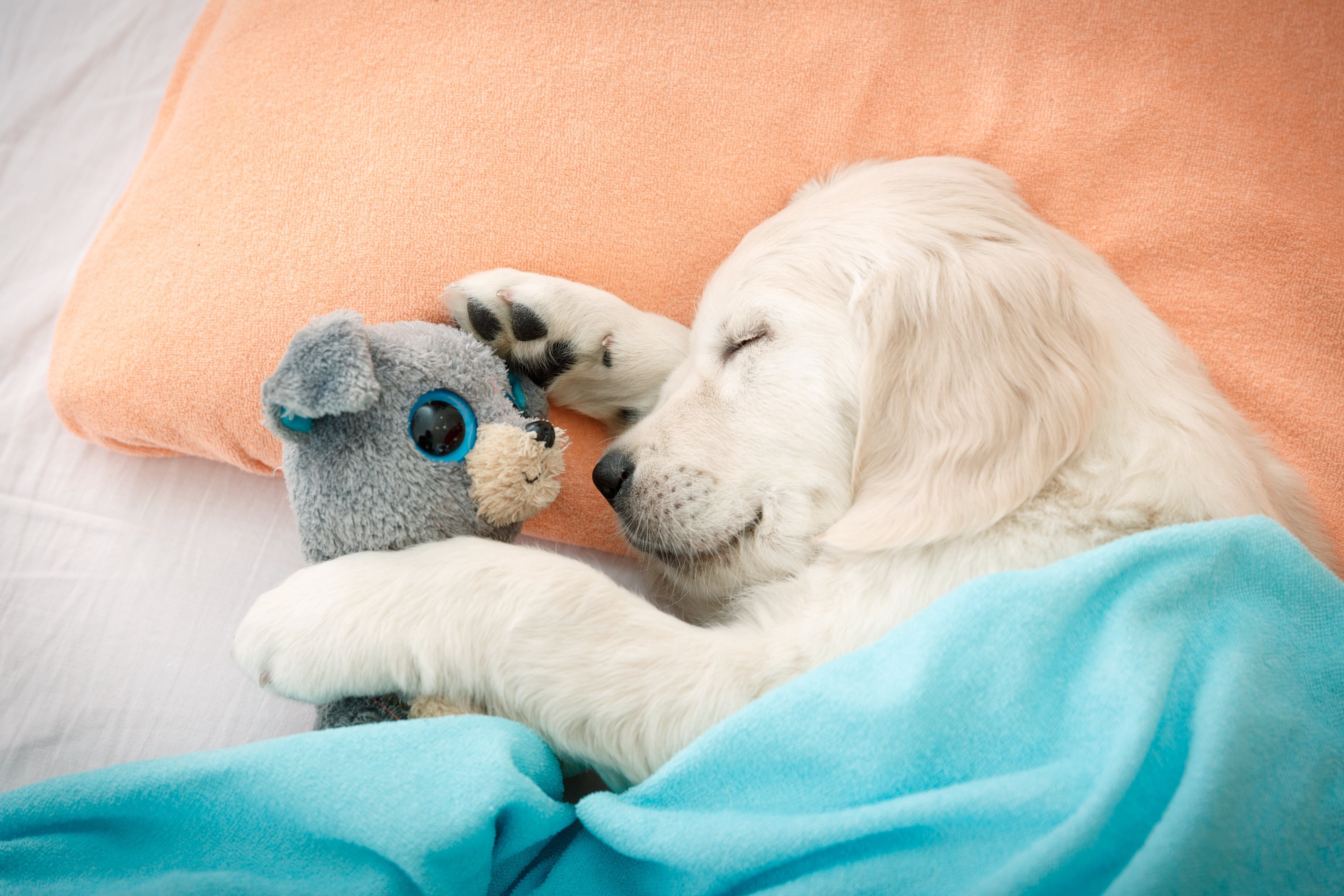 labrador retriever puppy sleeping with toy on the bed-homemade dog toys-Scrap fabric dog toys-Best fabric for dog toys-Diy dog toys to sell-homemade dog toys for shelters