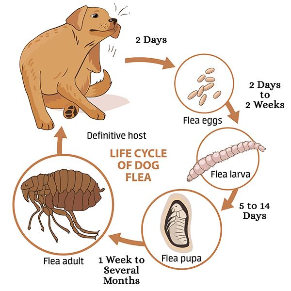Life Cycle of Fleas Illustration