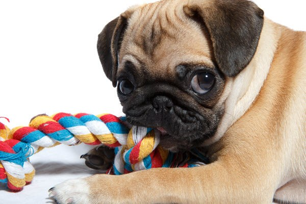 pug with dog toy for teeth cleaning