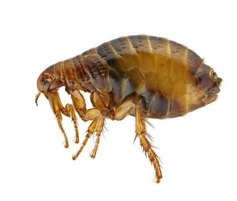 flea close up