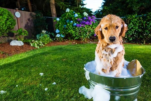 Dog bath with flea shampoo
