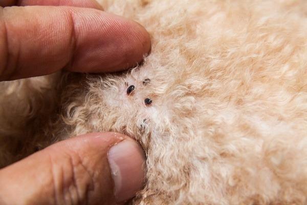 Fleas on a dog's fur