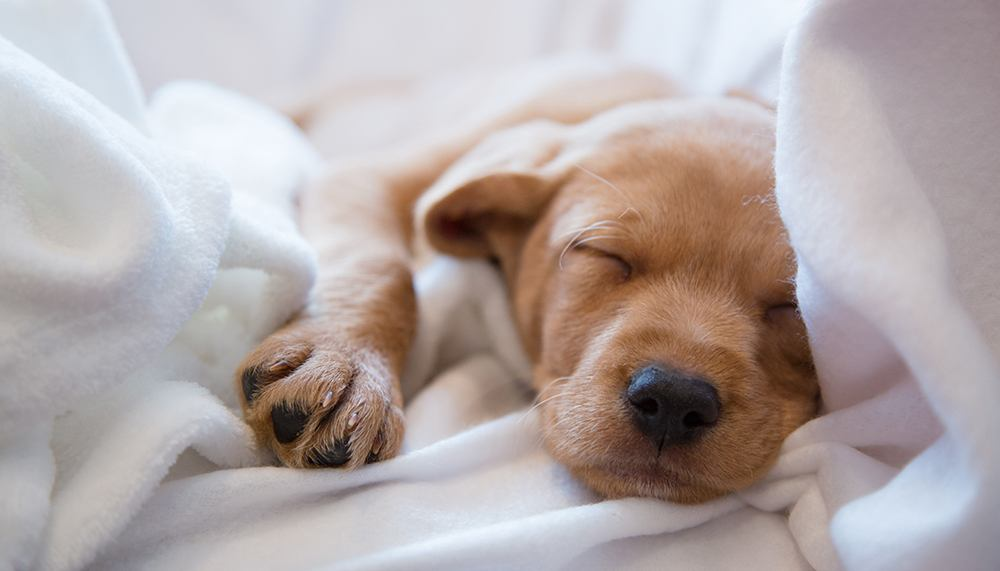 Puppy asleep in a white blanket