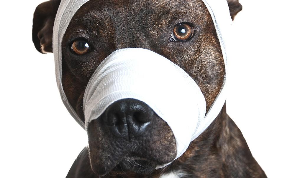 Dog wit bandage on nose and head