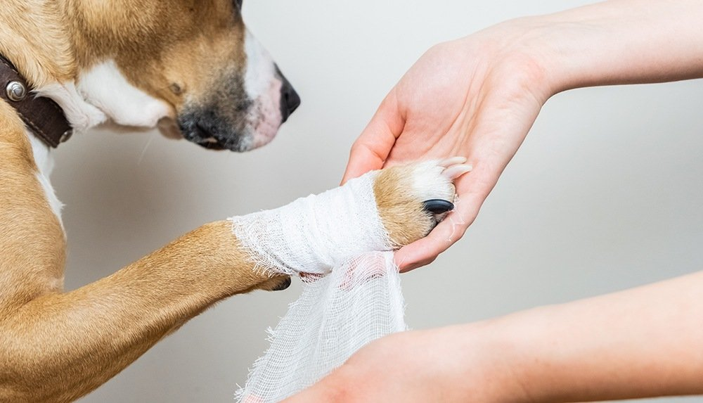 Hands wrapping a dogs paw in bandages