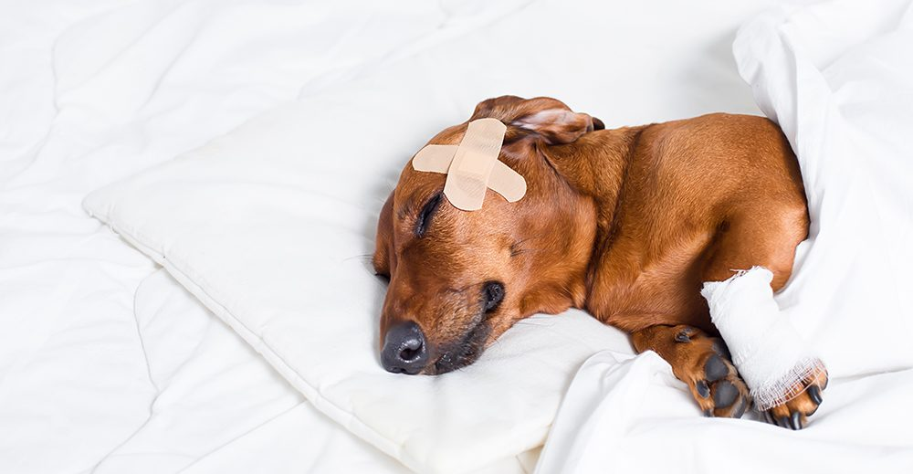 small dog on white pillow with bandaids on head and bandage on paw