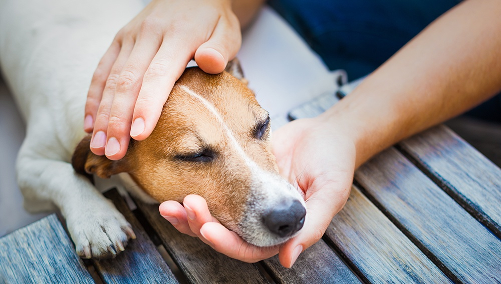 Jack Russell Terrier laying on table with head being held by two hands