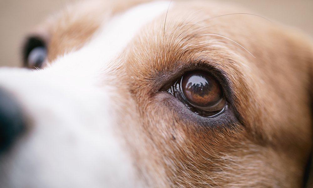 closeup of hound eyes