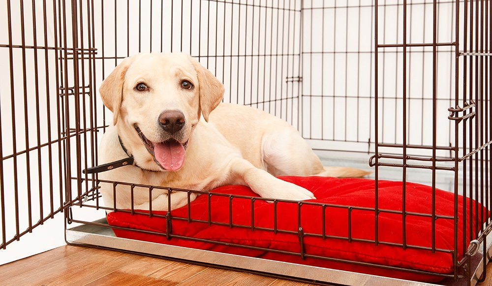 yellow labrador dog on a red pillow in a crate with door open
