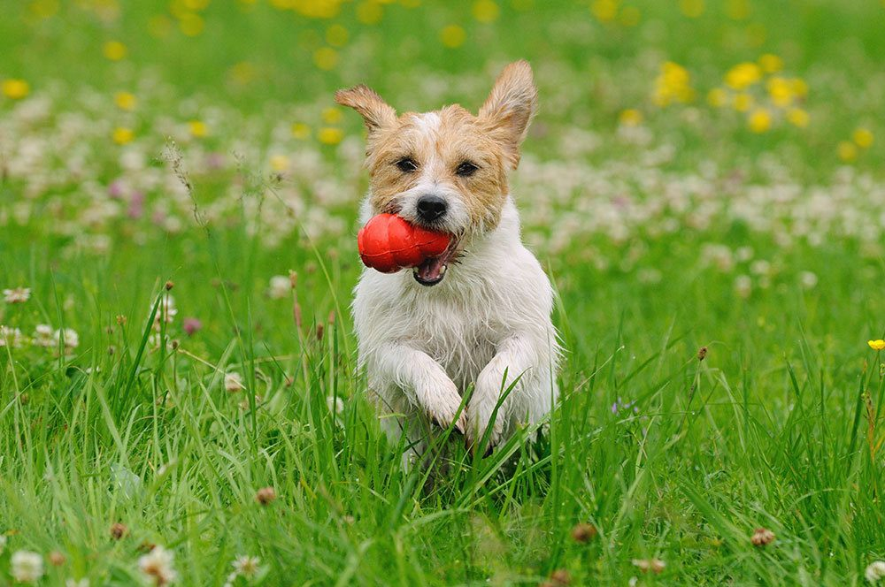 small dog running in field with kong in mouth