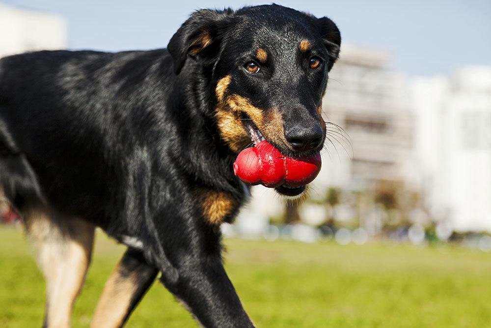 Dog standing in park with kong in mouth