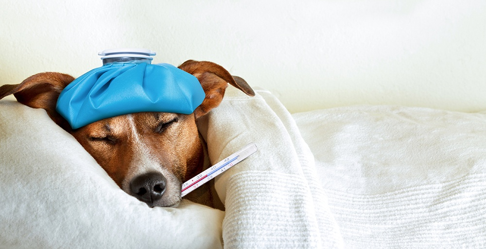 Sick dog in bed with ice pack on head and thermometer in mouth