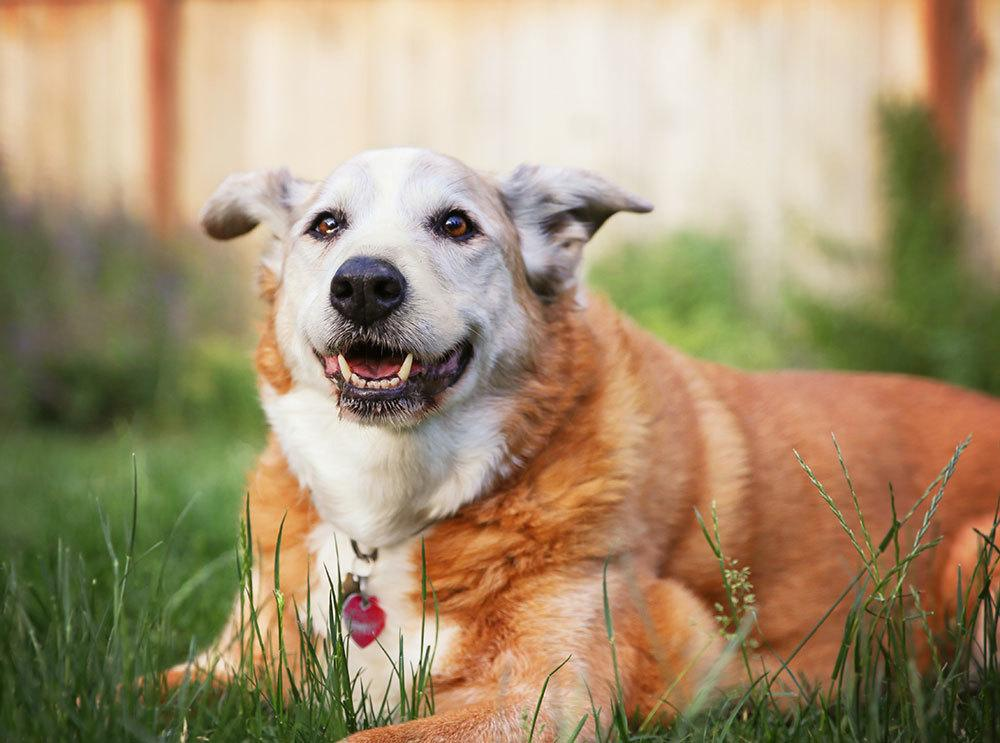 Overweight senior dog laying in the grass