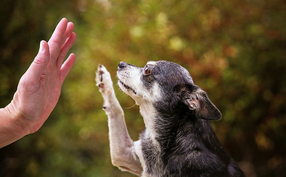 Older chihuahua giving person a high five