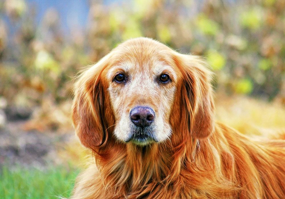 Rust colored senior dog with graying face looking into the camera