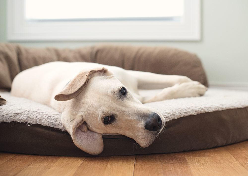 older puppy laying on dog bed