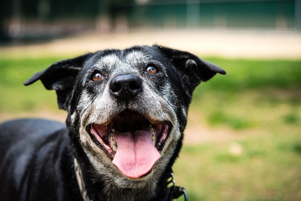 Senior dog with a gray face with open mouth