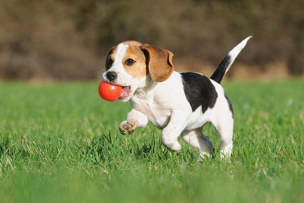 Puppy running in field with kong in mouth