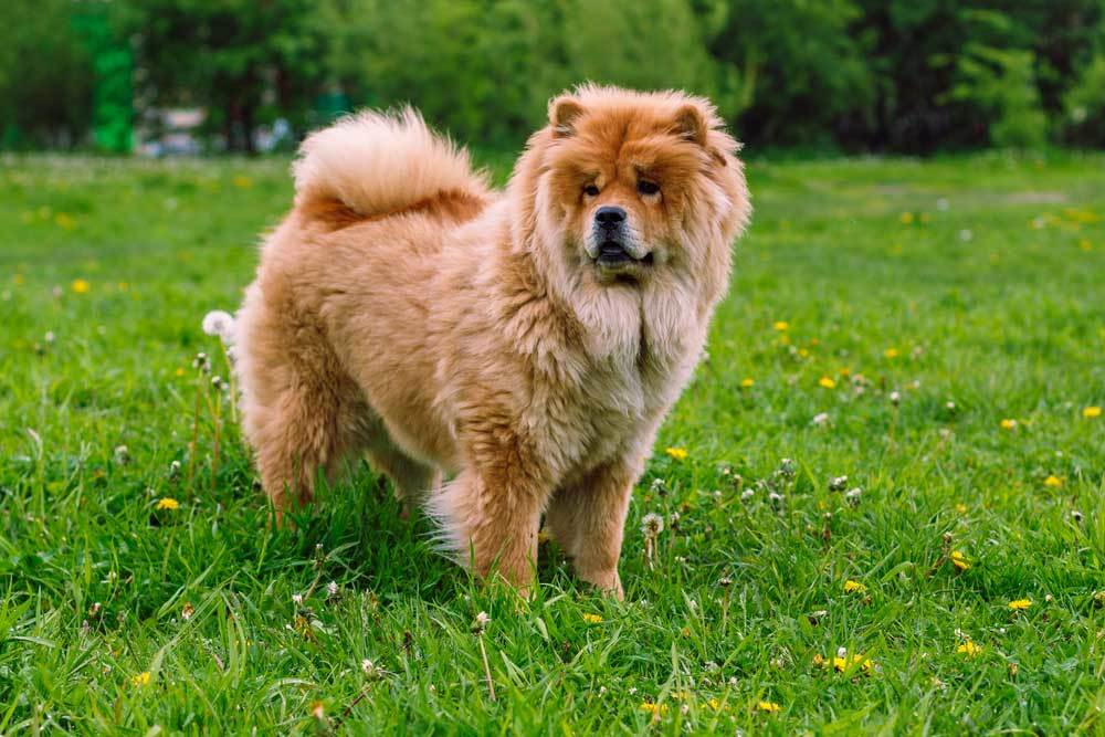 Chow Chow standing in grassy field with trees in the background