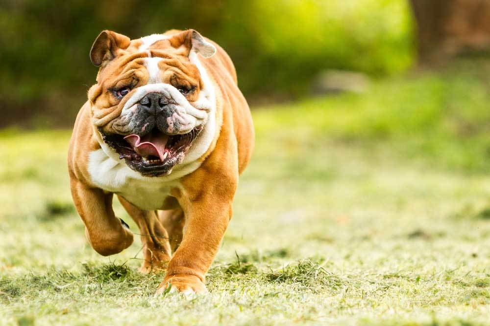 English Bulldog running in grass with tongue sticking out