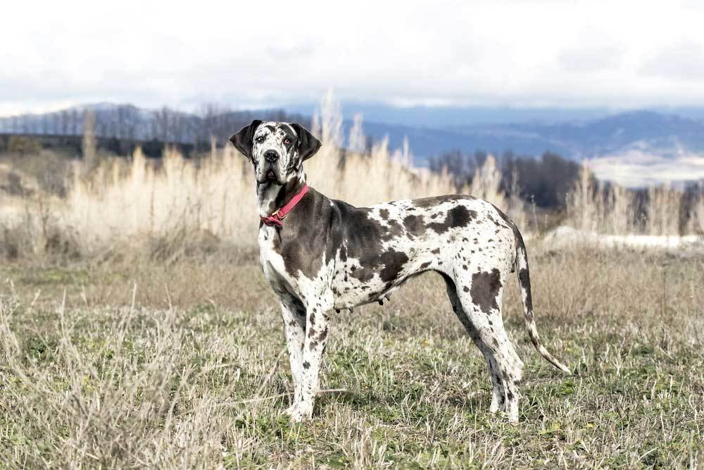 Great Dane standing in field with mountains in the background