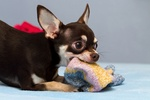 chihuahua playing with a sock