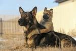 german shepherd puppy with older german shepherd