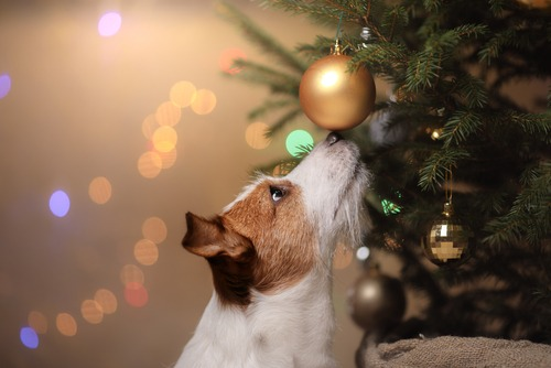 Jack Russell Terrier with Christmas Ornament