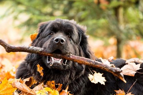 Newfoundland dog holding a stick
