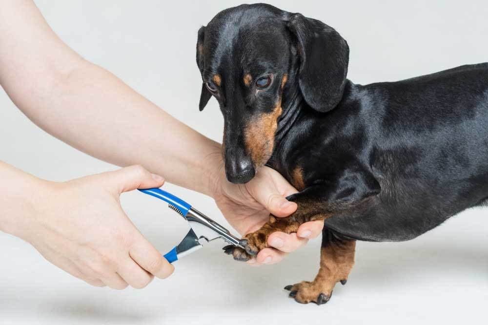 Dachshund on white background getting nails trimmed