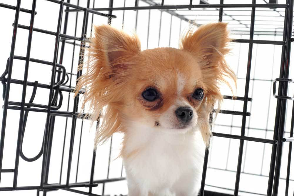 chihuahua puppy peeking out of kennel door