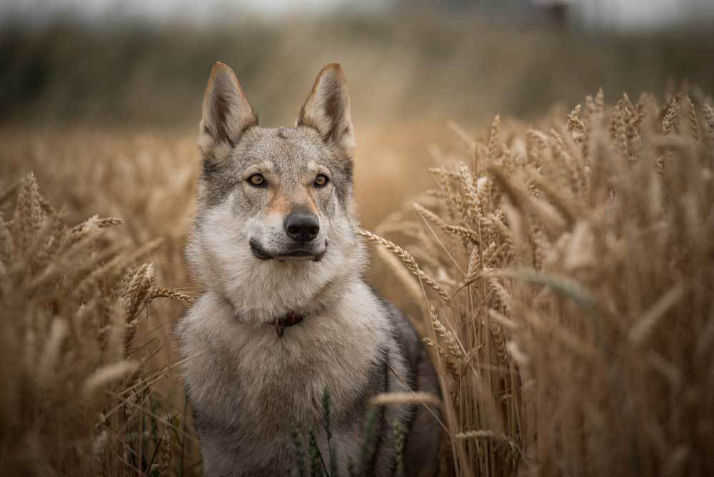 Wolf dog standing in a wheat field
