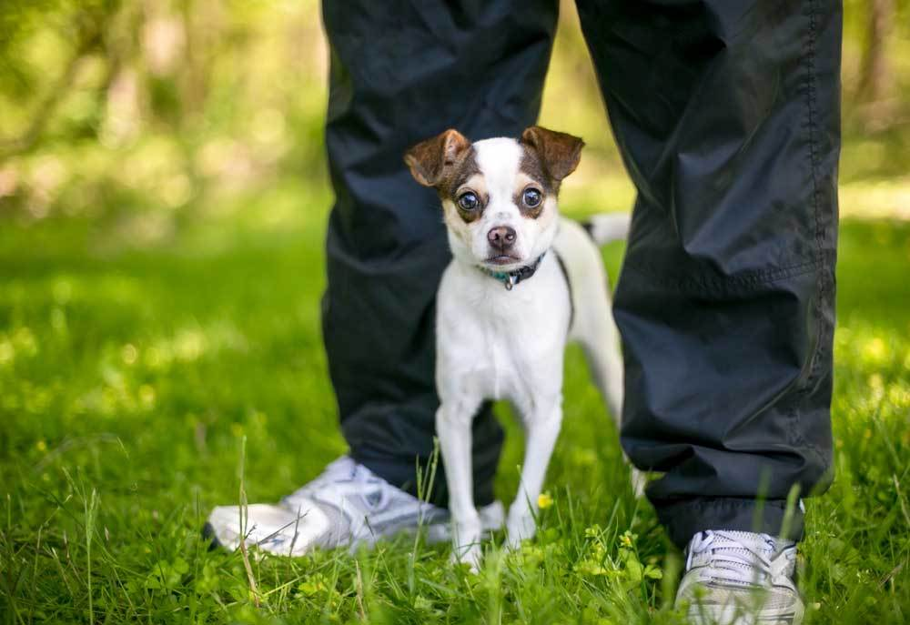 small nervous puppy standing in between the feet of a person on the grass