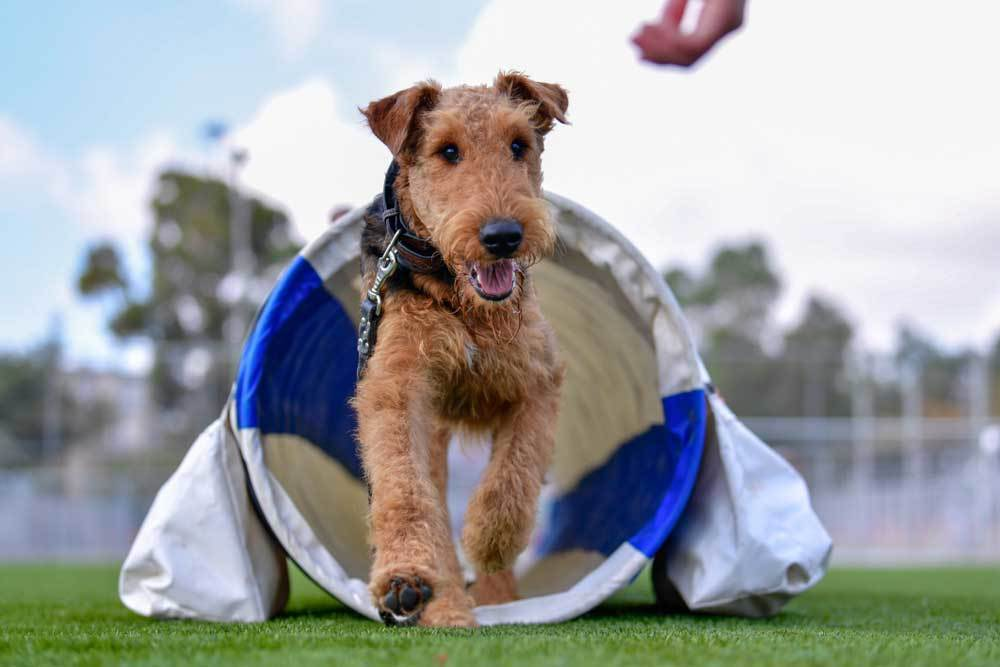 Airedale Terrier coming out of an agility training tunnel