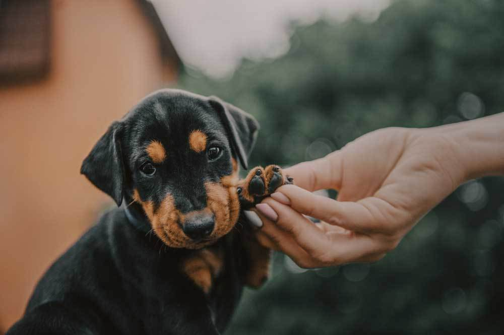 Rottweiler puppy with paw in human's hand with house and trees in the background
