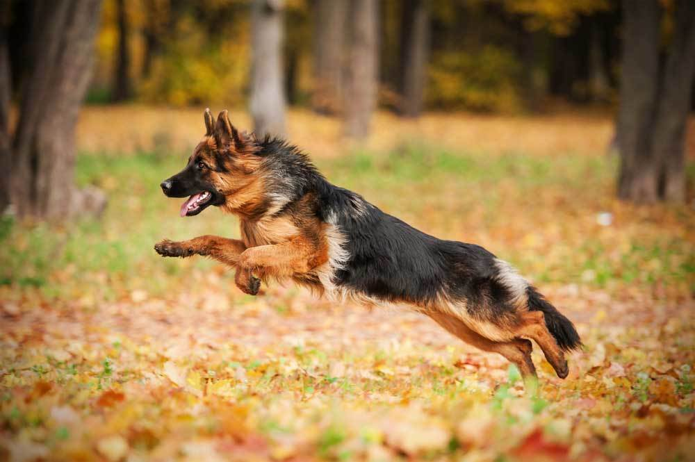 German shepherd jumping on a leaf covered wooded path