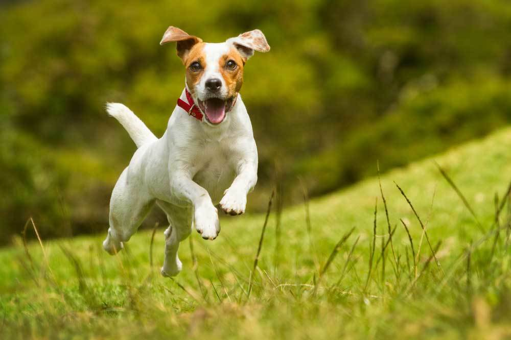 Jack Russell Terrier running and jumping on a grass covered hill