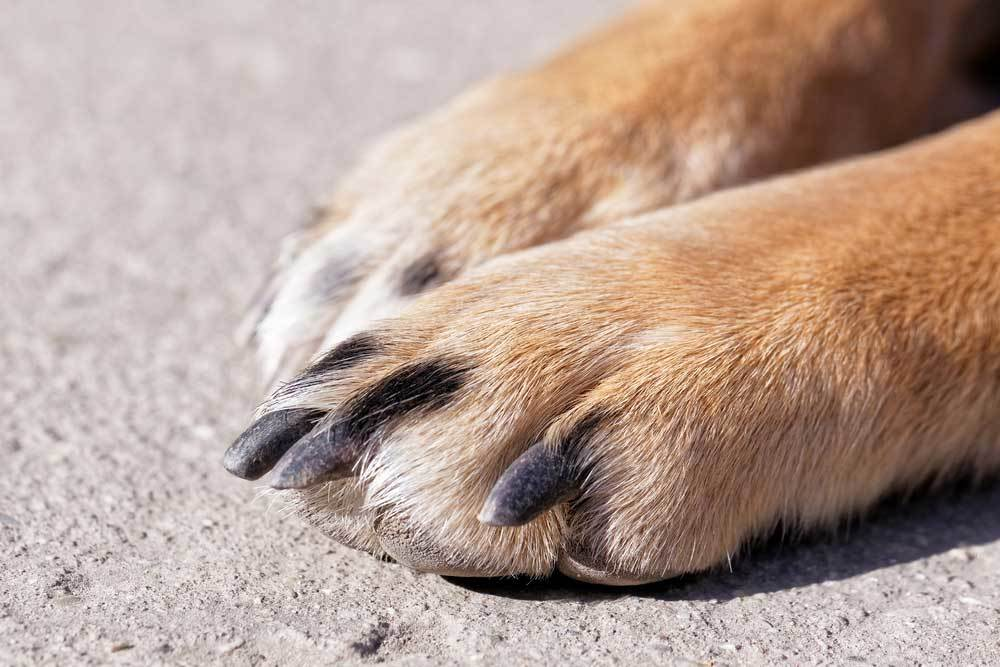 dog paws with dark nails on concrete