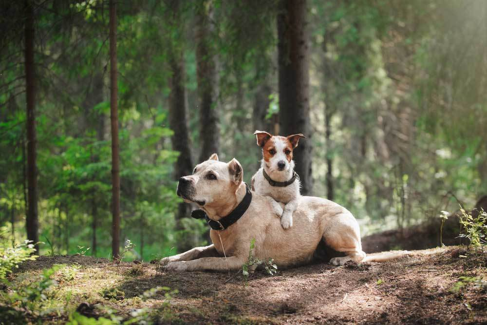 Small dog laying over the back of a bigger dog in the woods