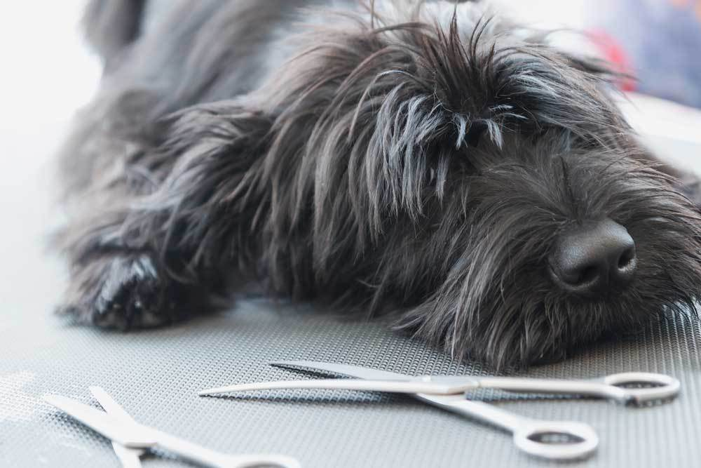 shaggy dog laying on table next to scissors