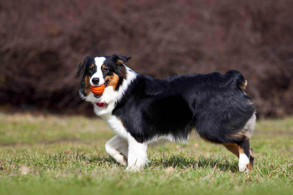 Australian Shepherd playing with ball on a field