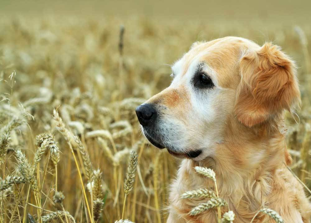 Older golden retriever with a gray face standing in a wheat field